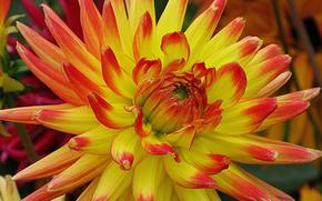 dahlia, Fleurs, fleur, Macro, belle fleur, belles fleurs, flore