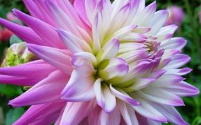 dalia, Flores, flor, Macro, hermosa flor, hermosas flores, flora