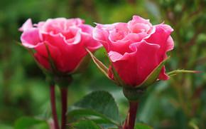 rosa, Flores, flor, Macro, hermosa flor, hermosas flores, flora