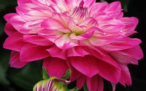 георгин, цветы, цветок, макро, красивый цветок, красивые цветы, флора