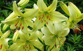 Lilies, Flowers, flower, Macro, beautiful flower, beautiful flowers, flora