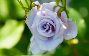 роза, сиреневая, бутон, лепестки, макро
