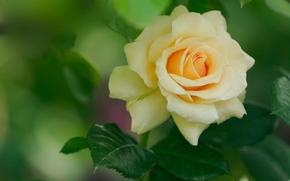 роза, бутон, лепестки, листья