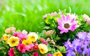 petunias, Bells, doroteantus margaritkovidny, flowerbed