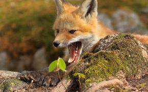 pup, fox, Redhead, jaws, gape