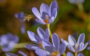 крокусы, шафран, пчела, насекомое, весна, макро