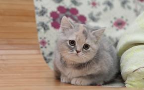 Британская короткошёрстная кошка, котёнок, малыш, взгляд