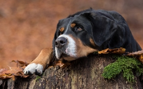 Great Swiss Mountain Dog, dog, Snout, portrait