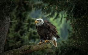 Bald Eagle, hawk, bird, predator, pine, tree