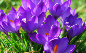 Crocuses, Flowers, flower, Macro, beautiful flower, beautiful flowers, flora