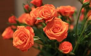 розы, цветы, цветок, макро, красивый цветок, красивые цветы, флора