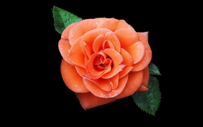 Roses, Fiori, fiore, Macro, bellissimo fiore, bellissimi fiori, flora