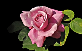 Roses, Flores, flor, Macro, hermosa flor, hermosas flores, flora