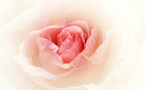 rose, Roses, flower, Flowers, drops, dew, Macro, BUD, Petals