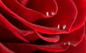 rosa, Roses, fiore, Fiori, gocce, rugiada, Macro, BUD, Petali