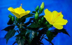 Hibiscus, цветок, флора