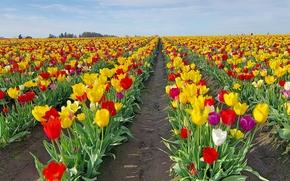field, Flowers, TULIPS, flora