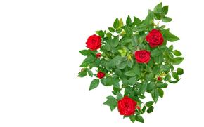 rosa, Roses, flor, Flores, rojo, COMPOSICIÓN, fondo blanco, para las felicitaciones