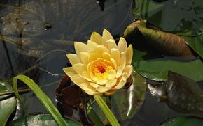 ninfea, fiore, pond, flora
