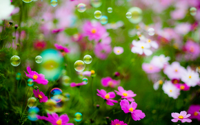 field, bubble blower, Flowers, flower, Macro, beautiful flower, beautiful flowers, flora
