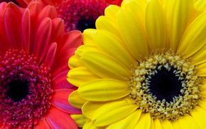 gazanias, 花卉, 植物群