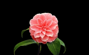 camellia, Flowers, flower, Macro, beautiful flower, beautiful flowers, flora
