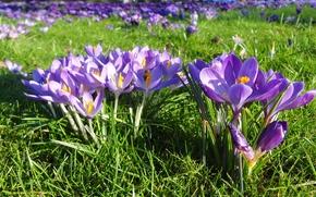 крокусы, цветы, цветок, макро, красивый цветок, красивые цветы, флора