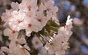 Cherry Blossoms, цыеты, ветки, флора