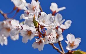 fiori di ciliegio, tsyety, FILIALE, flora