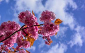 cherry blossoms, tsyety, BRANCH, flora