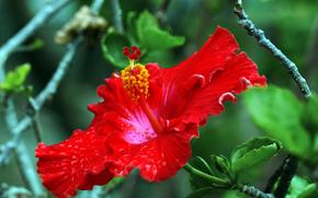 Hibisco, flor, flora