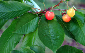 BRANCH, foliage, BERRY, cherry