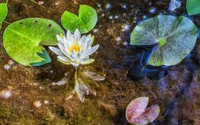 водоём, водяная лилия, флора