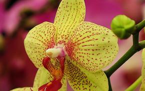 orchidea, fiore, flora
