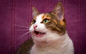 COTE, gato, gato, photoshoot, fundo