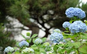цветок, цветы, флора, макро, растения, гортензия