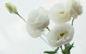 fleur, Fleurs, flore, Macro, plantes, ranunkulyus