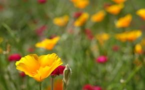 Blume, Blumen, flora, Macro, Pflanzen, eschscholzia