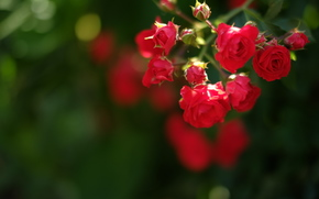 flower, Flowers, flora, Macro, plants, Roses