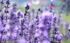 flor, Flores, flora, Macro, plantas, lavanda