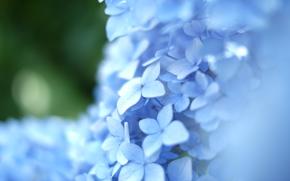 flower, Flowers, flora, Macro, plants, hydrangea