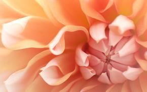 цветок, цветы, флора, макро, растения, георгин