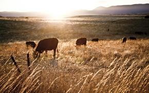 vacă, COW, tauri, natură, artiodactyls