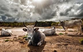 cow, COW, bulls, nature, artiodactyls