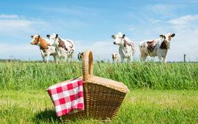 корова, коровы, быки, природа, парнокопытные, пастбище, корзина
