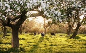 vacă, COW, tauri, natură, artiodactyls, pășune, SPRING, Flori