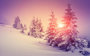 winter, snow, drifts, spruce, sunset