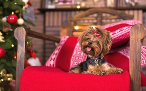 Yorkshire terrier, dog, mutt, chair