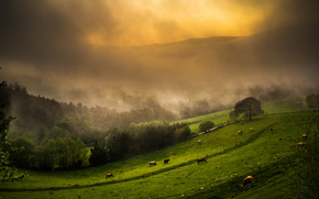 корова, коровы, быки, природа, парнокопытные, пастбище, туман, холмы