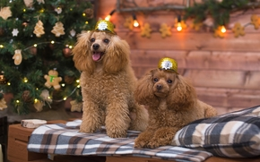 Poodles, Dog, couple, fir-tree
